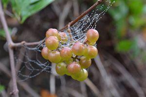 Morning Grapes Suprise - TrixieTheTrickster