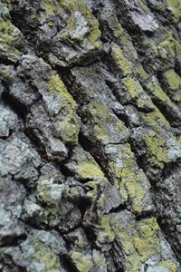 Green Fungus, Oak Tree Bark