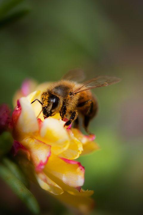 Bee on Flower - Kelvin Andow, a photographer.