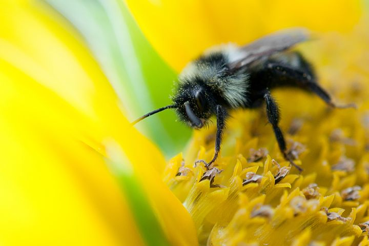 Bee on Flower - Kelvin Andow, a photographer.
