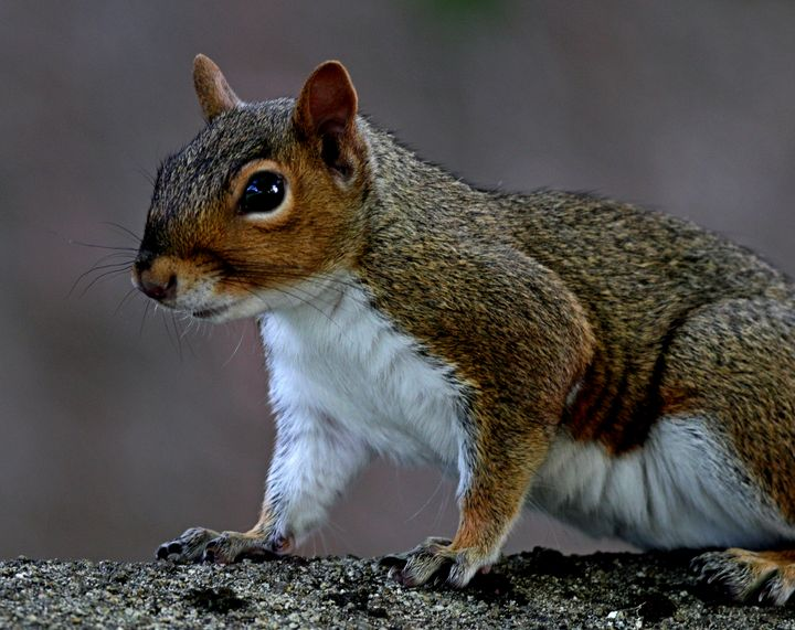 Grey squirrel, Sciurus carolinensis - BryanWB