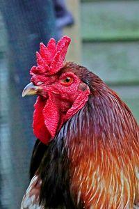 English Game Cock
