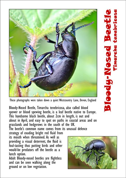 Bloody-Nosed Beetle - BryanWB