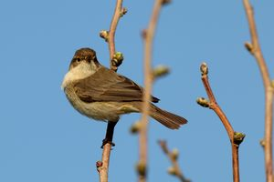 Whitethroat, Curruca communis