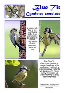 Blue Tit, Cyanistes caeruleus.