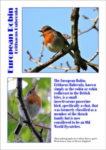 Robin or robin redbreast, Erithacus