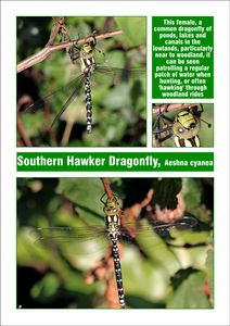 Southern Hawker Dragonfly, Female