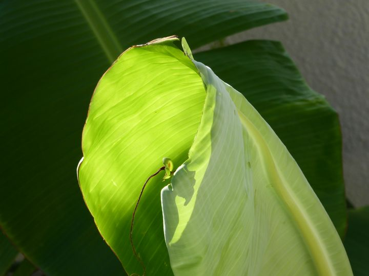 Early morning banana leaf - Margaret LN Brooks