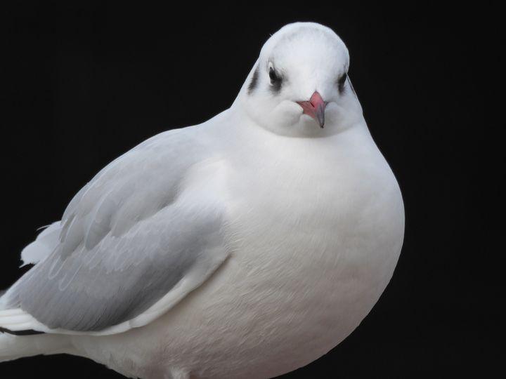 Mediterranean gull - Margaret LN Brooks