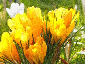 Yellow Crocus - Happiness