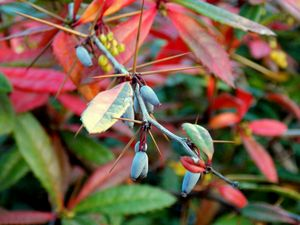 Thorns, Berries and Leaves