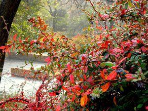 Burning Bush - Fall Garden