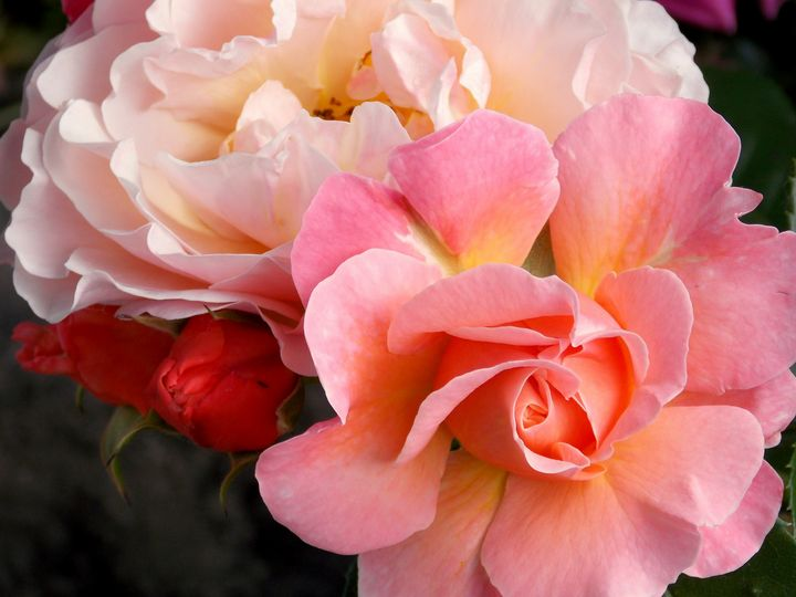 Most Beautiful Roses in Three Colors - BranaghBel Art