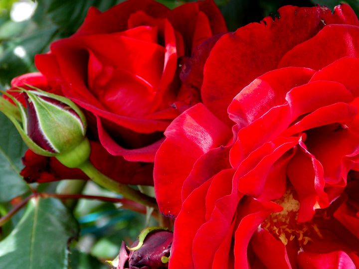 Amazing Blood Red Roses - BranaghBel Art