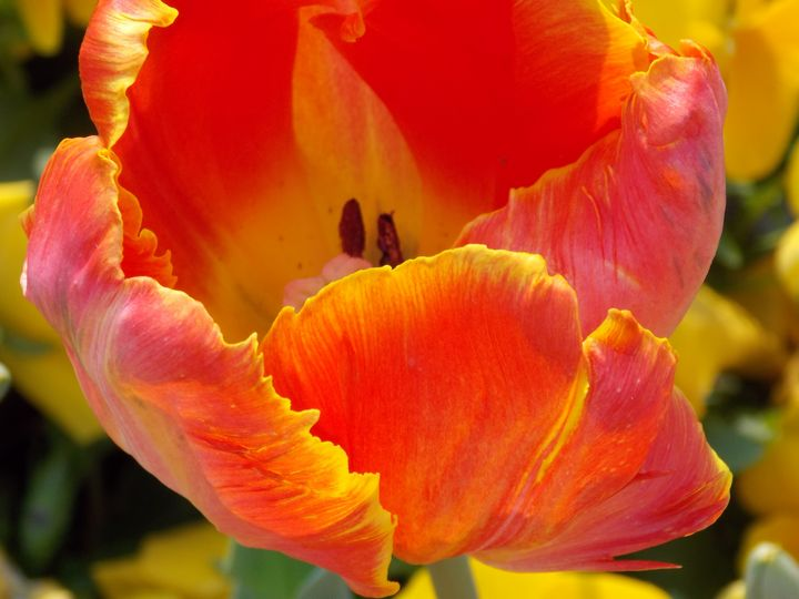 Very Pretty Red And Yellow Tulip - BranaghBel Art