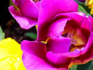 Purple Colored Tulip Flower