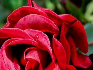 Close-up of Red Rose & Rain Drops