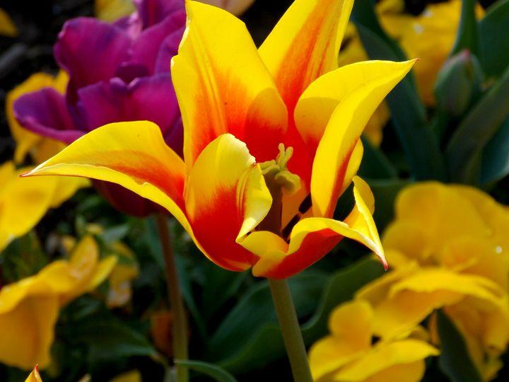 Colorful Tulip Field - BranaghBel Art