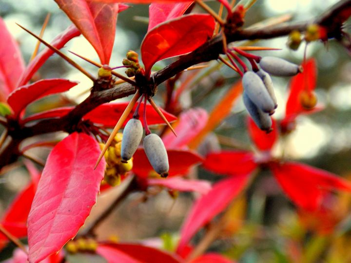 Amazing Red Leaves and Berries - BranaghBel Art