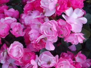 Beautiful Shrub Roses