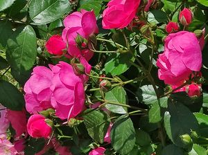 Beautiful Shrub Roses by BranaghBel