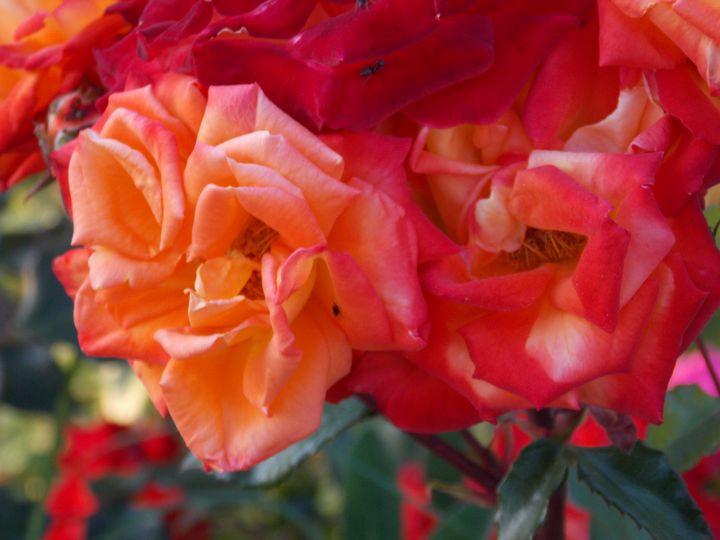 Everybody Loves Roses by BranaghBel - BranaghBel Art