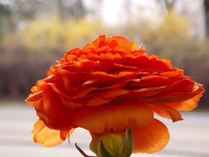 Apricot Anemone - BranaghBel Art