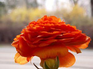 Apricot Anemone
