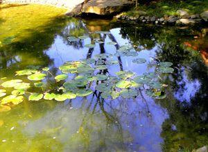 Water Lilies - Nimphaeaceae