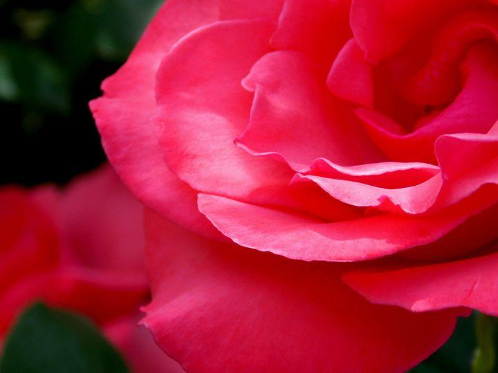 Pink Rose Flower - BranaghBel Art