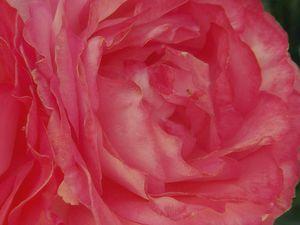 Such a Beautiful Rose