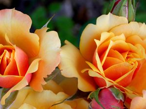 Yellow and Orange Roses - dadaart