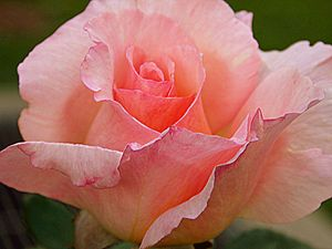 Soft Rose Flower