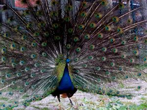Indian Blue Peafowl - dadaart