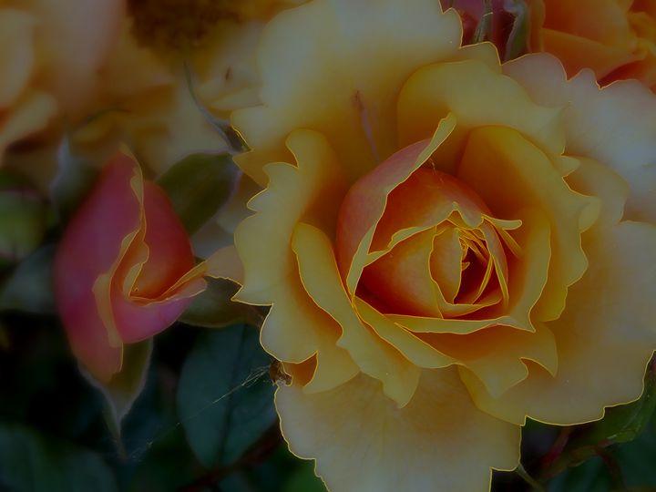 Velvet Orange Roses - dadaart