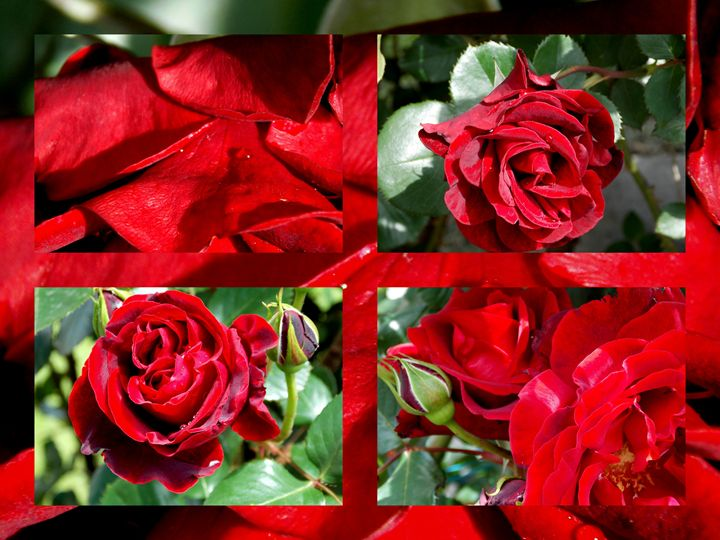 Red Roses - College - BranaghBel Art