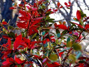 Blood Red Thorn Bush