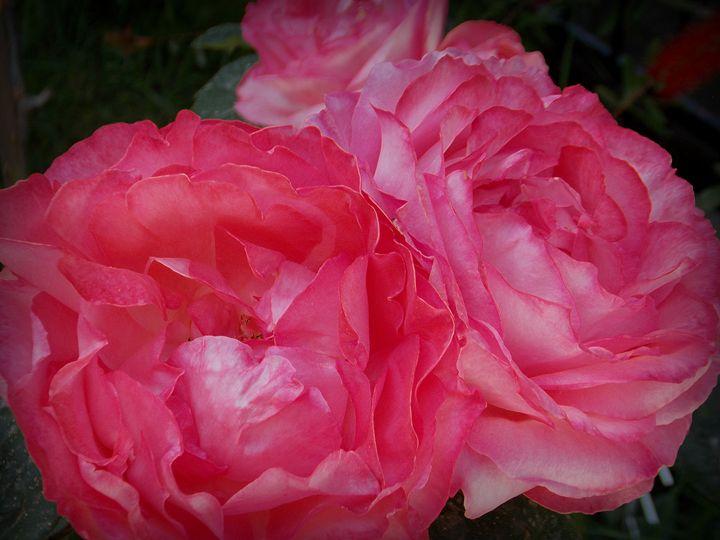 Hot Pink Silk Roses - dadaart