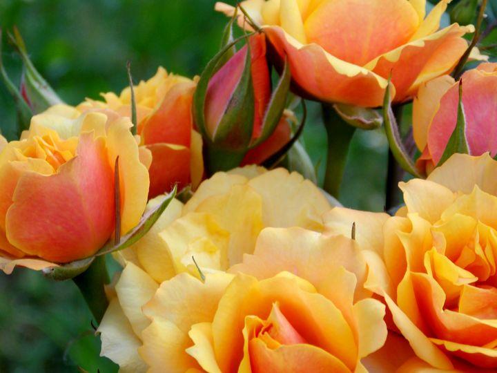 Yellow Flowers  - Yellow Roses - BranaghBel Art