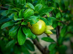 Young pomegranate fruit on tree