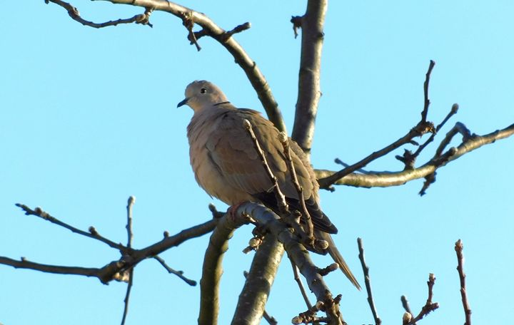Early Morning Collared Dove - A Bird In Hand