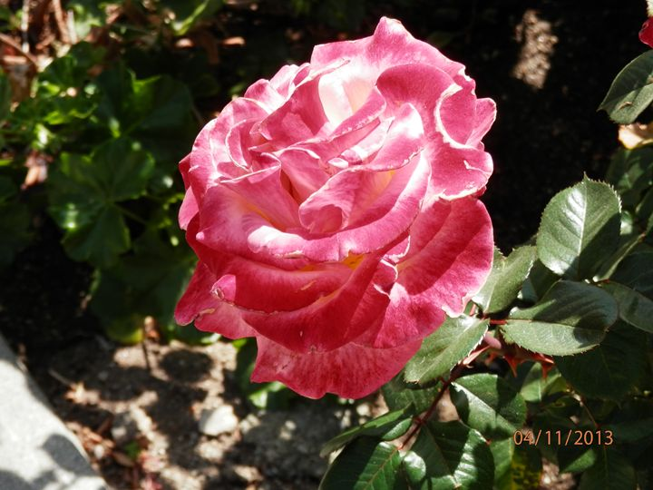 Red rose - Kate-Ann Art & Photography: Kathy and Stephanie Pe