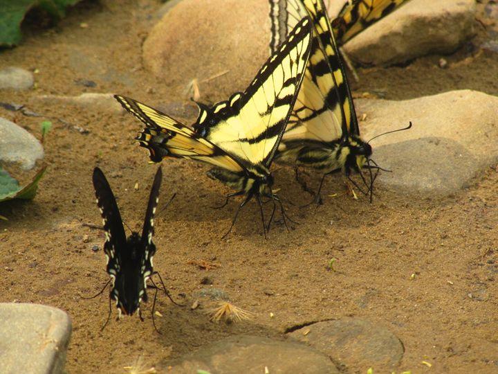 Butterfly Beauty - Ivys Dreamer