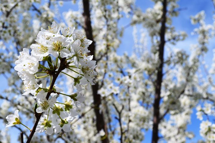White Blossoms - Ayesha