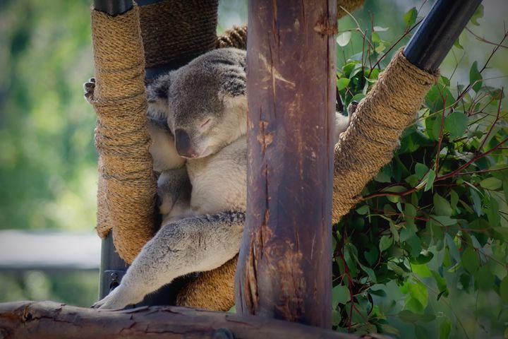 """Soft koala, warm koala"" - Sean Toler Photo"