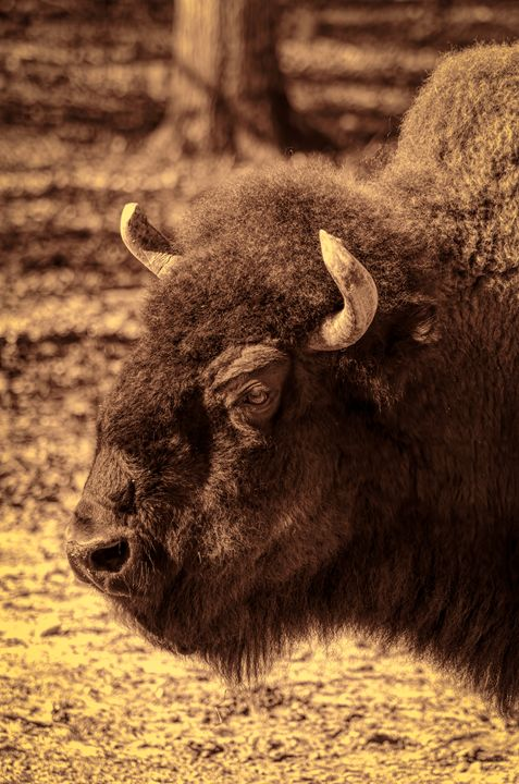 American Bison - Sean Toler Photo
