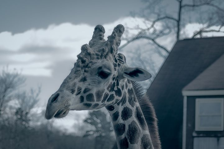 Giraffe in Winter - Sean Toler Photo