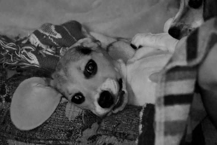 Beagle Eye - Michael.L.Todd