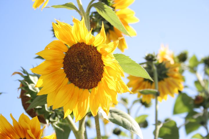 Bright Sunflowers - Cully's Girl