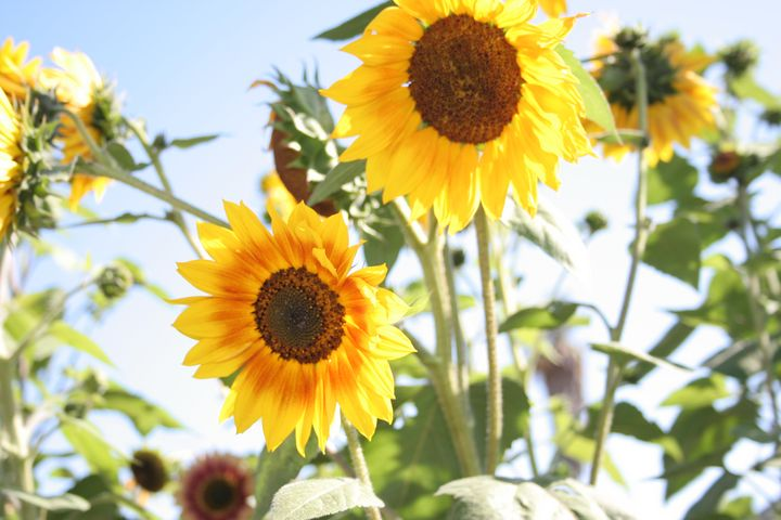 Sunflower Dream - Cully's Girl
